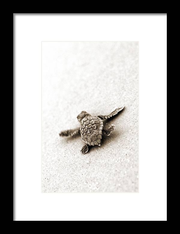 Loggerhead Turtle! Hilton Head Island Framed Print featuring the photograph Loggerhead by Michael Stothard