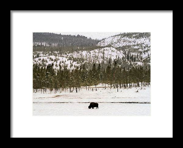 Yellowstone Framed Print featuring the photograph Lone Buffalo by Susan Rissi Tregoning