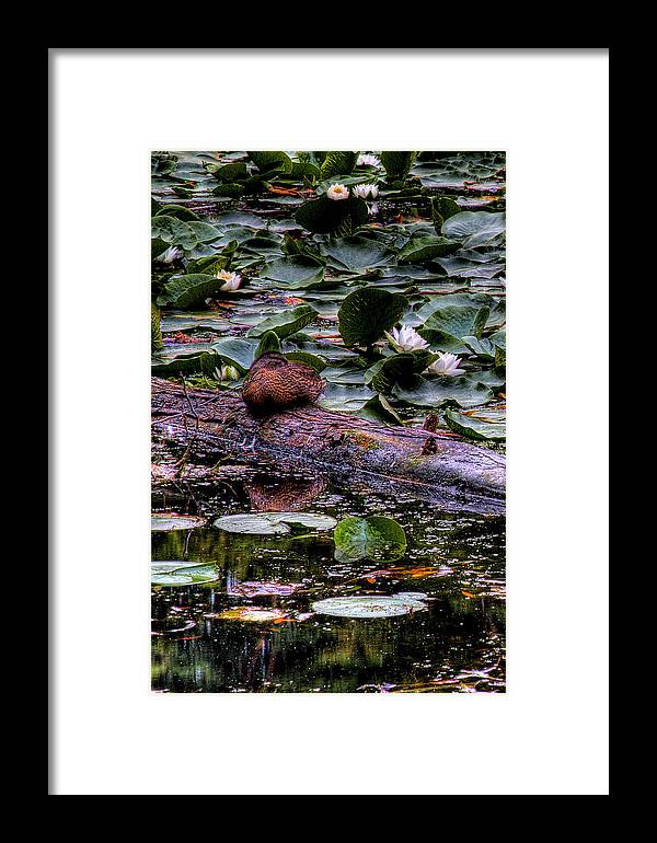 Lilly Pad Framed Print featuring the photograph Lone Duck by David Patterson