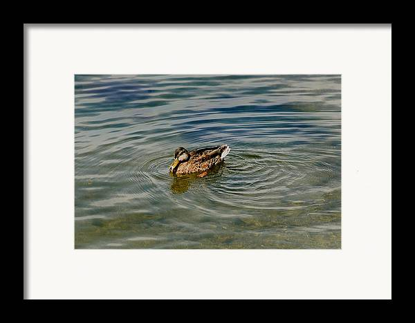 Photography Framed Print featuring the photograph Lone Duck Swimming On A River by Todd Gipstein