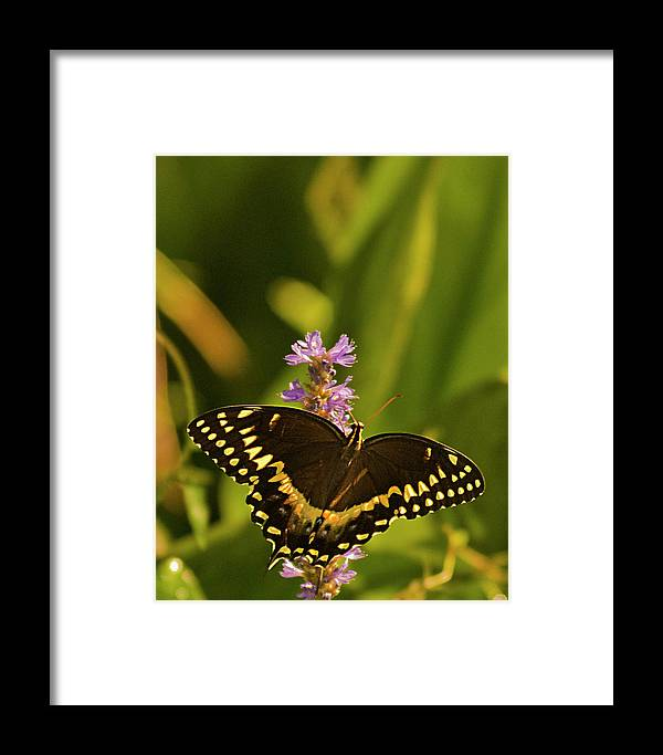Monarch Butterflies Framed Print featuring the photograph Lone Monarch by Frank Feliciano