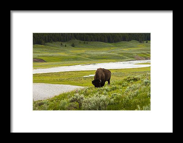 Bison Framed Print featuring the photograph Lonely Bison Valley by Chad Davis