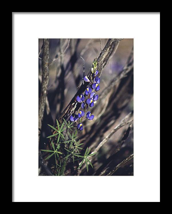 Flower Framed Print featuring the photograph Lonely Lupine by Randy Oberg