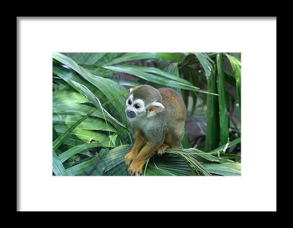 Monkey Framed Print featuring the photograph Lonely by Robert Green