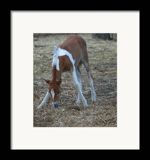 Foal Framed Print featuring the painting Long Legs by Kim