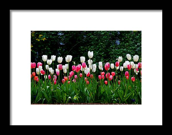 Tulips Framed Print featuring the photograph Long Stem Tulips by Nancy Bradley