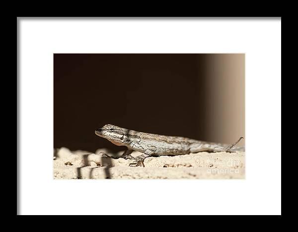 Long Tailed Brush Lizard Framed Print featuring the photograph Long Tailed Brush Lizard by Elisabeth Lucas