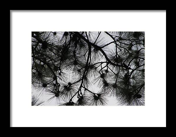 Pines Framed Print featuring the photograph Longleaf Lace by Laura Martin