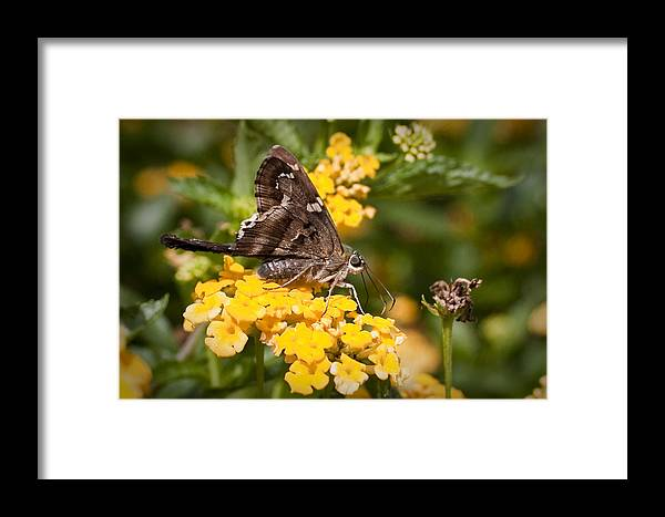 Longtailed Skipper Framed Print featuring the photograph Longtailed Skipper Urbanus Proteus by Dustin K Ryan