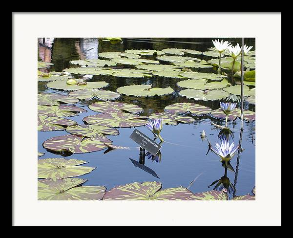 Lillies Framed Print featuring the painting Longwood Lillies by Randy Ford