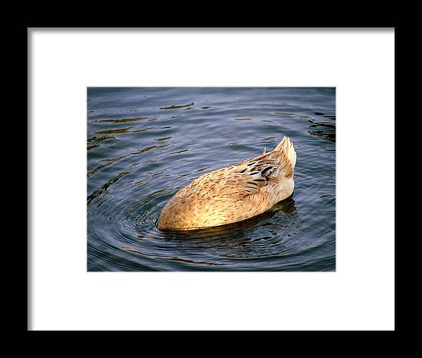 Ducks Framed Print featuring the photograph Look Mom No Head by Judy Waller
