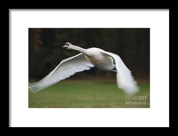 Swan Framed Print featuring the photograph Look Out Below by Doug Thwaites