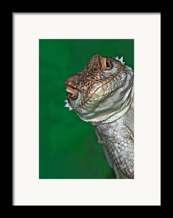 Vertical Framed Print featuring the photograph Look Reptile, Lizard Interested By Camera by Pere Soler