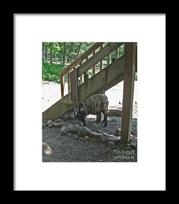 Ram Framed Print featuring the photograph Look Who's Under The Stairs by Beebe Barksdale-Bruner