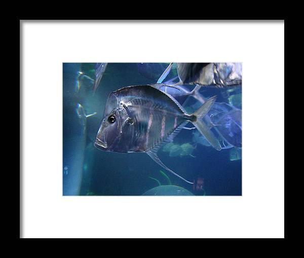 Fish Framed Print featuring the photograph Lookdown Fish by Lisa Rose Musselwhite