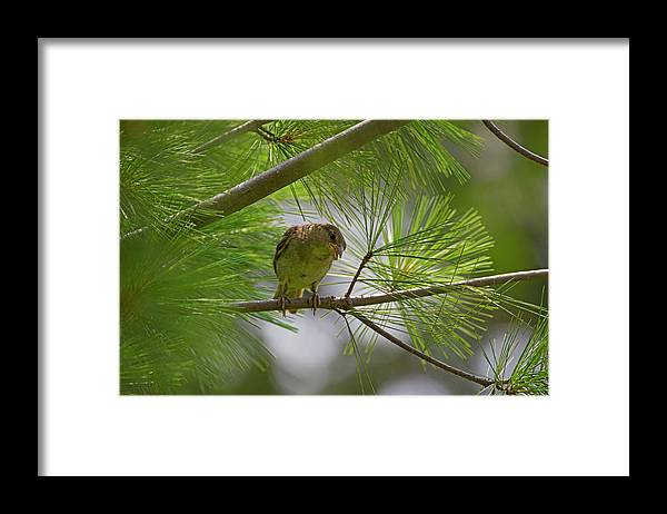 Bird Framed Print featuring the photograph Looking Down - Common Sparrow - Passer Domesticus by Spencer Bush