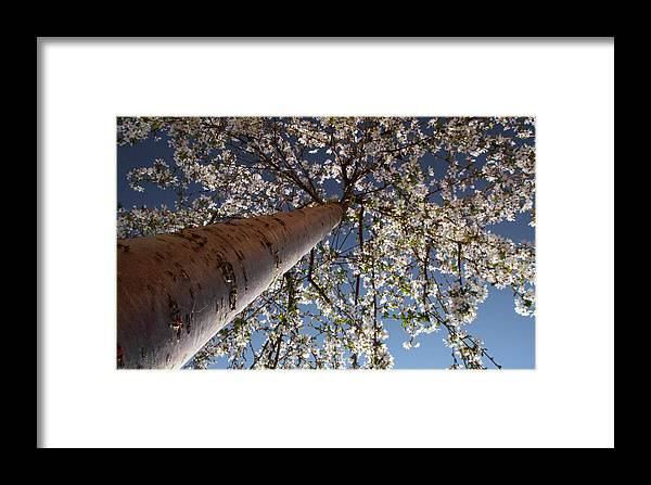Tree.spring Framed Print featuring the photograph Looking Up by Nicholas J Mast