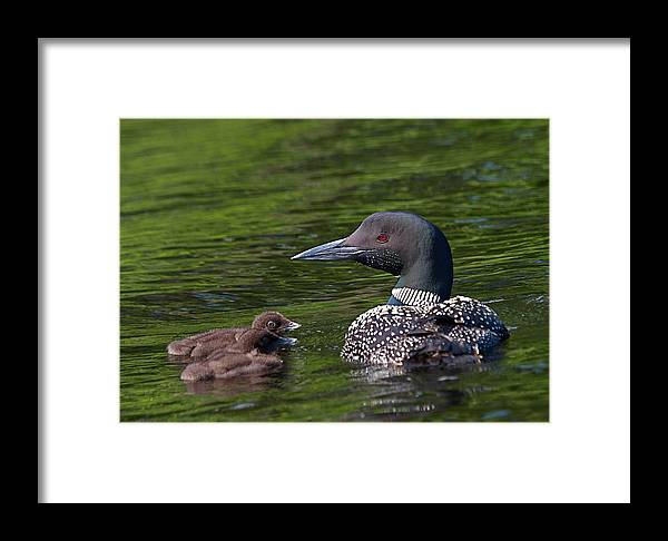 Loon Framed Print featuring the photograph Loon Afternoon by Peter Gray