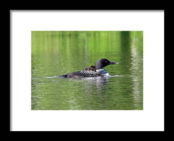 Loon Framed Print featuring the photograph Loon With Chick On Back by James Jenks