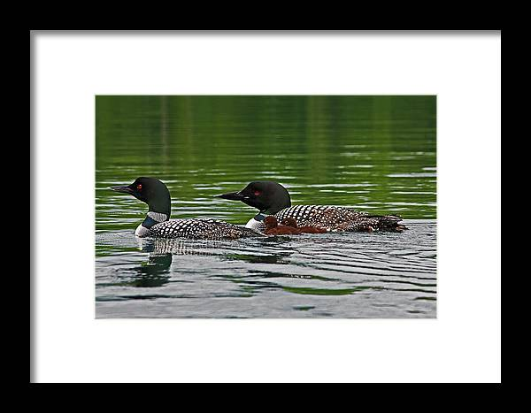 Loon Framed Print featuring the photograph Loons With Chicks by James Jenks