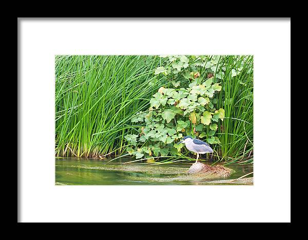 La River Wildlife Framed Print featuring the photograph Los Angeles River Wildlife - Night Heron by Ram Vasudev