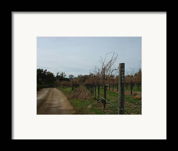 Vineyard Framed Print featuring the photograph Los Olivos Vineyard by PJ Cloud