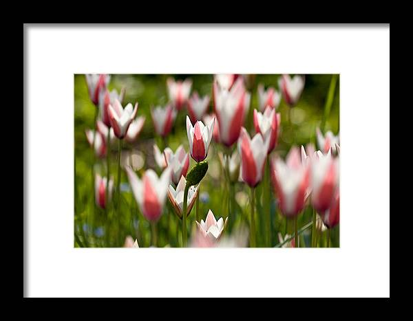 Landscape Framed Print featuring the photograph Lost In The Beauty Of Tulips by Carl Jackson
