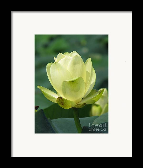 Lotus Framed Print featuring the photograph Lotus by Amanda Barcon