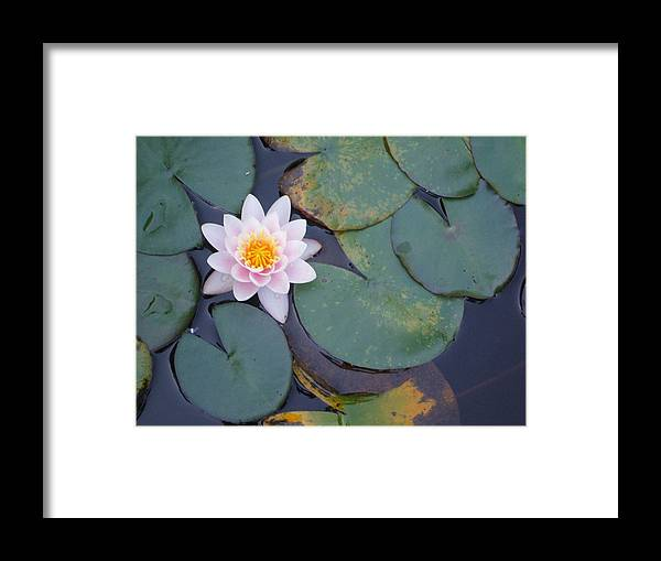 Lotus Lily Water Flower Pink Green Framed Print featuring the photograph Lotus Flower by Bethwyn Mills