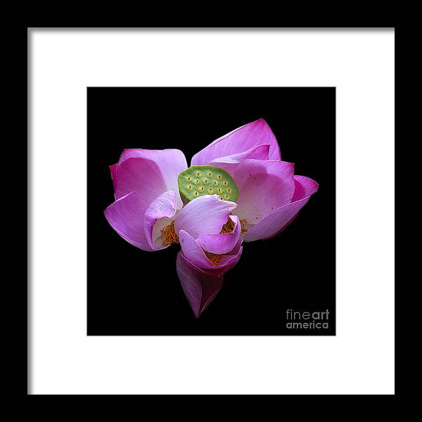 Flower Framed Print featuring the photograph Lotus In Bloom by Neil Doren