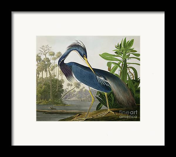 Louisiana Heron Framed Print By John James Audubon