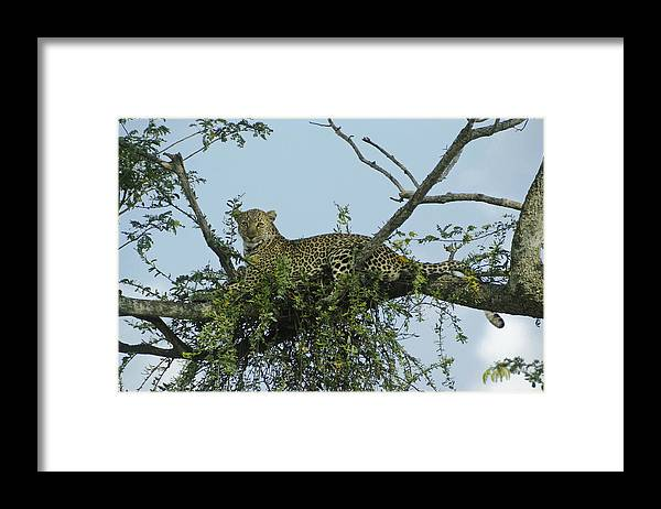 Africa Framed Print featuring the photograph Lounging Leopard by Michele Burgess