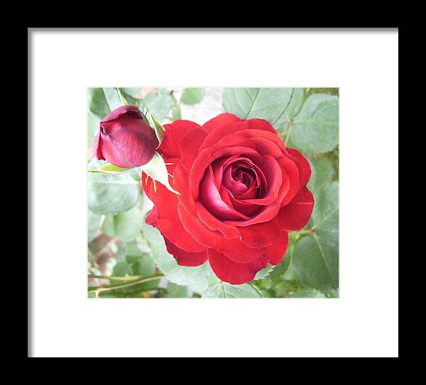 Rose Roses Florals Flowers Framed Print featuring the photograph Love Roses by Lisa Roy