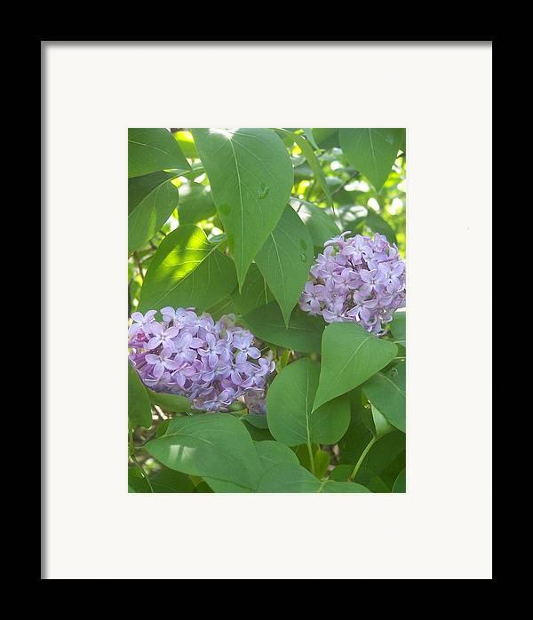 Lavendar Purple Lilacs Flowers Garden Framed Print featuring the photograph Lovely Lilacs 2 by Anna Villarreal Garbis