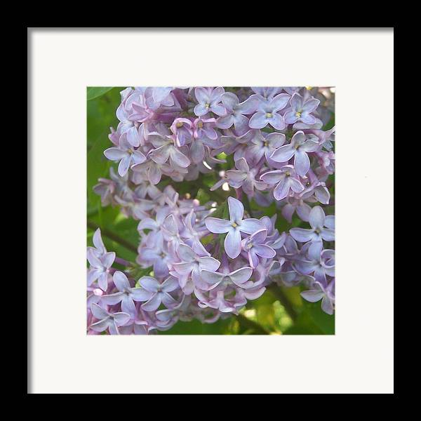 Lavendar Purple Lilacs Flowers Garden Framed Print featuring the photograph Lovely Lilacs by Anna Villarreal Garbis