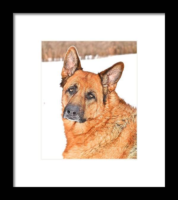 German Shepherd Dog Framed Print featuring the photograph Lovely Shepherd by Danielle Sigmon