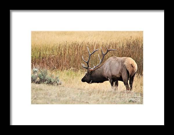 Bull Elk Framed Print featuring the photograph Low Approach by Karen Jones