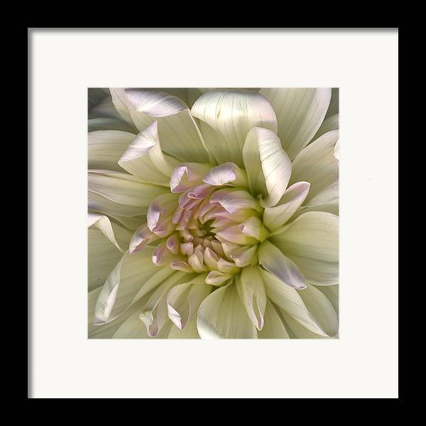 Scanography Framed Print featuring the photograph Luminous Petals by Deborah J Humphries