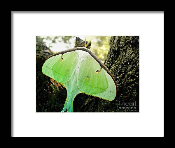 Macro Framed Print featuring the photograph Luna Moth No. 3 by Todd Blanchard