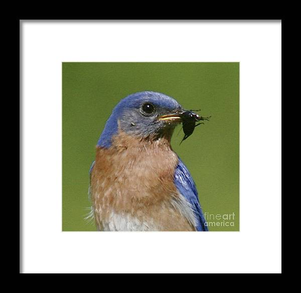 Blue Bird Framed Print featuring the photograph Lunch Time Blues by Robert Pearson