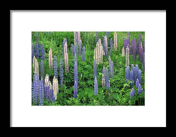 Flowers Framed Print featuring the photograph Lupin Variety by John Ricker