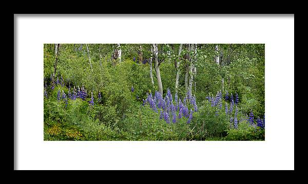 Aspen Framed Print featuring the photograph Lupine And Aspens by Heather Coen