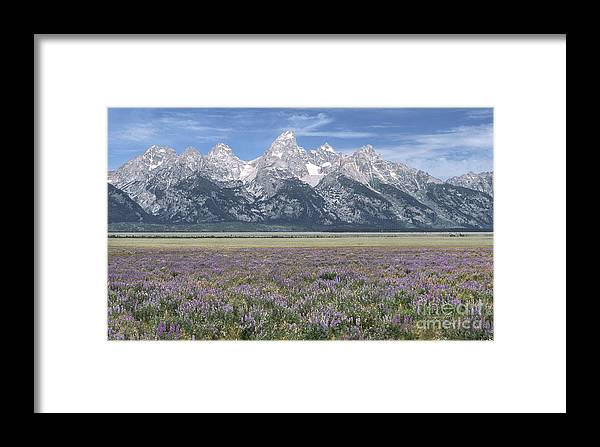 Grand Teton Framed Print featuring the photograph Lupine And Grand Tetons by Sandra Bronstein