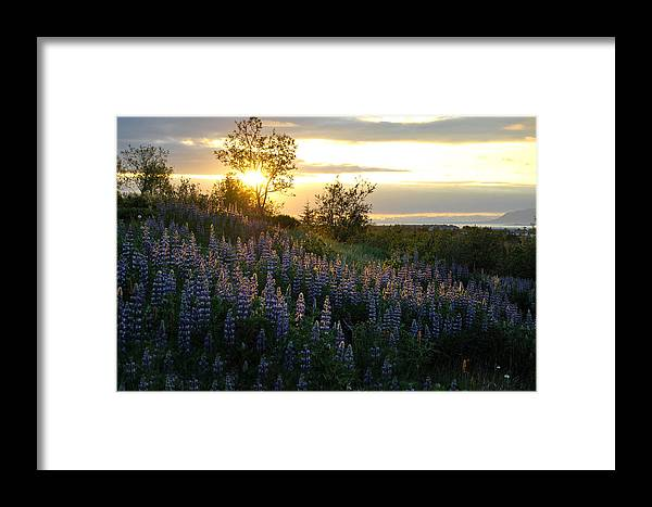Lupine Framed Print featuring the photograph Lupine Sunset by Marilynne Bull