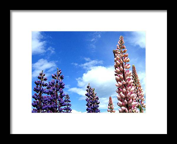 Lupins Framed Print featuring the photograph Lupins by Will Borden