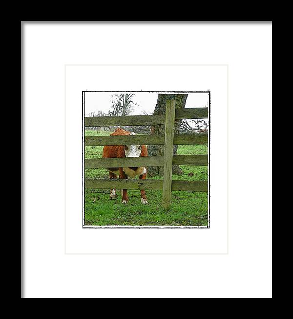 Cow Framed Print featuring the photograph LZ by Robert Boyette