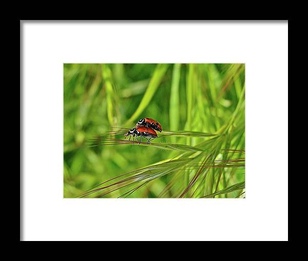 Insects Framed Print featuring the photograph Macro Acrobats by Diana Hatcher