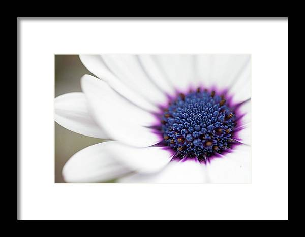 Macro flower with white petals and purpleindigo center framed print flower framed print featuring the photograph macro flower with white petals and purpleindigo center mightylinksfo