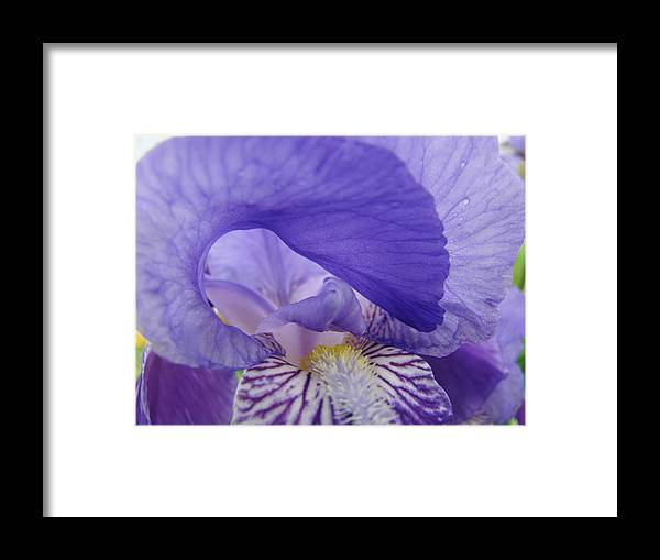 �irises Artwork� Framed Print featuring the photograph Macro Irises Close Up Purple Iris Flowers Giclee Art Prints Baslee Troutman by Baslee Troutman