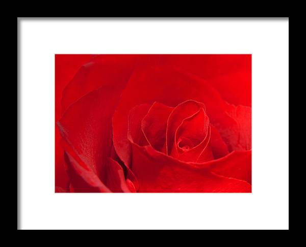 Rose Framed Print featuring the photograph Macro Red Rose by Svetlana Sewell